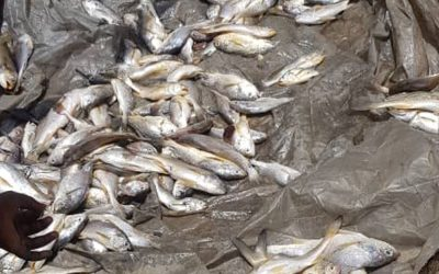 Environmentalists Reject NOSDRA's Report on Dead Fish Along Niger Delta Coastlines